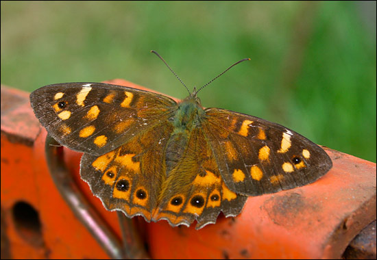 Madeiran Speckled Wood – Pararge xiphia - Birding Madeira
